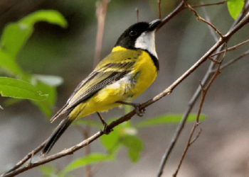 Burung Kancilan Emas