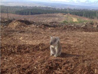 Ekspresi sedih Koala yang kehilangan rumahnya rata dengan tanah min