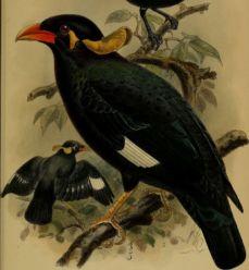 Gracula robusta Annali del Museo civico di storia naturale di Genova 1886 17788287234 cropped