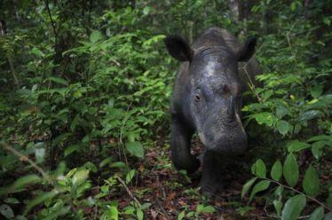Sumatran Rhino Credit Cyril Ruoso