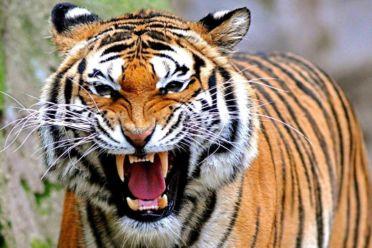 Harimau 3