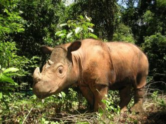 Rinoceronte7