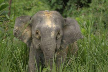 Gajah Kerdil Kalimantan