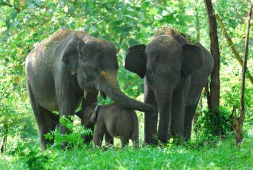Mengenal Berbagai Macam Jenis Gajah di Indonesia