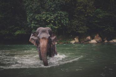Luster 2017 Elephant 009 12x36