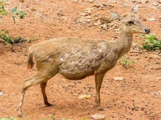 gambar rusa timor Cervus timorensis