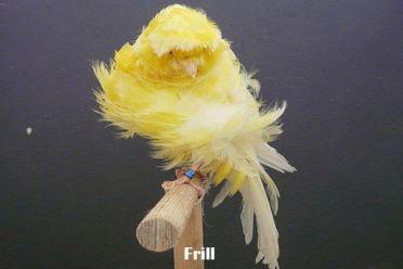 Jenis Kenari Frill