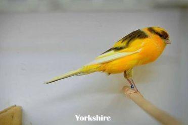 Jenis Kenari Yorkshire