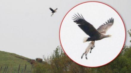 Skynews Sea Eagle Carries Off Lamb 4664465