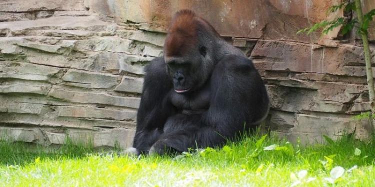 Gorilla 1416459 480
