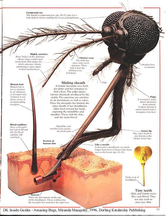 Anatomi Nyamuk 1