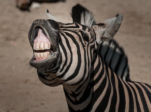 Kuda Zebra