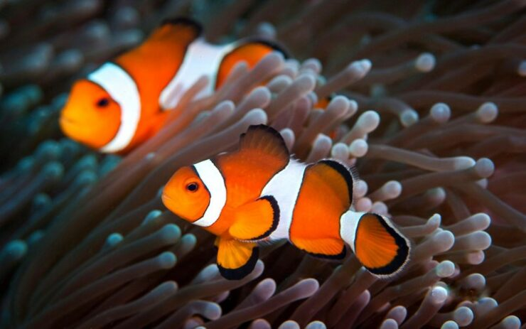 Ikan Hias Air Laut Badut Clownfish