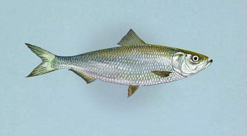 Ikan Haring ikan juga kentut