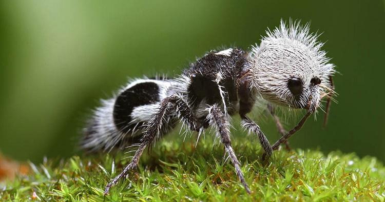 Semut Panda