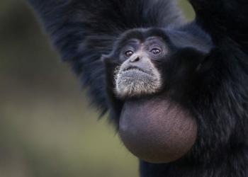 Binatang-Binatang Ini Bisa Mengembangkan Tubuhnya Seperti Bola