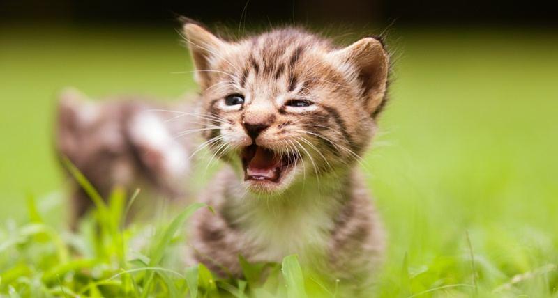 Ternyata Ini Penyebab Suara Kucing Hilang