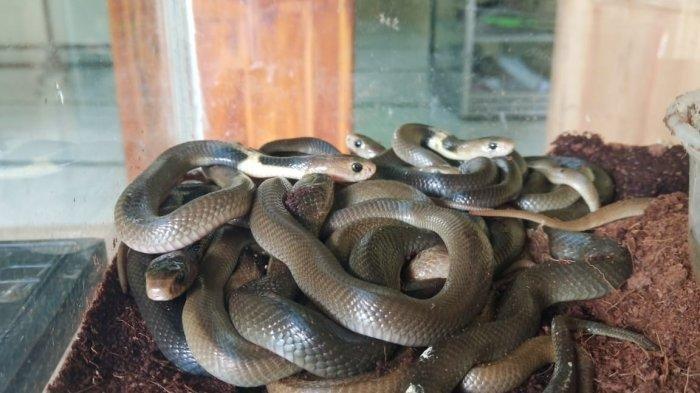 Anak Ular Kobra Ditemukan Di Masjid At Taqwa Sukoharjo