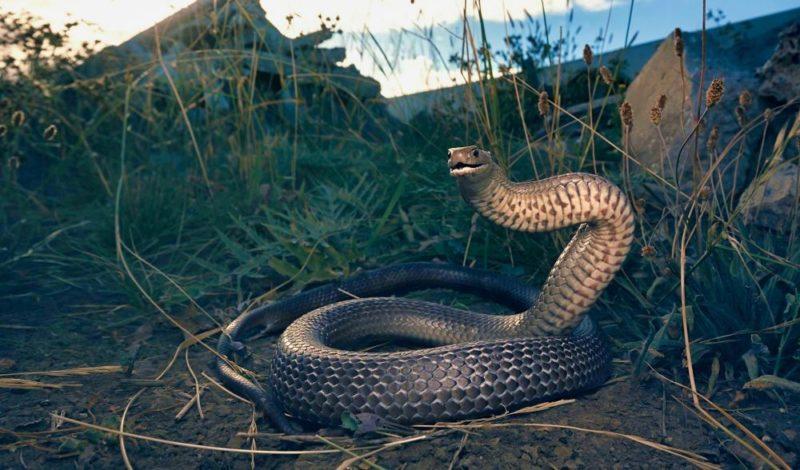 Eastern Brown Snake Pseudonaja Textilis Chordata 1579bf24a337f88dca1642eb87e05e5e