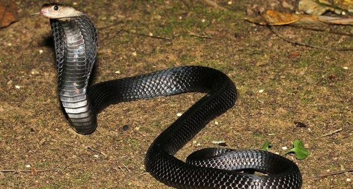 Equatorial Spitting Cobra