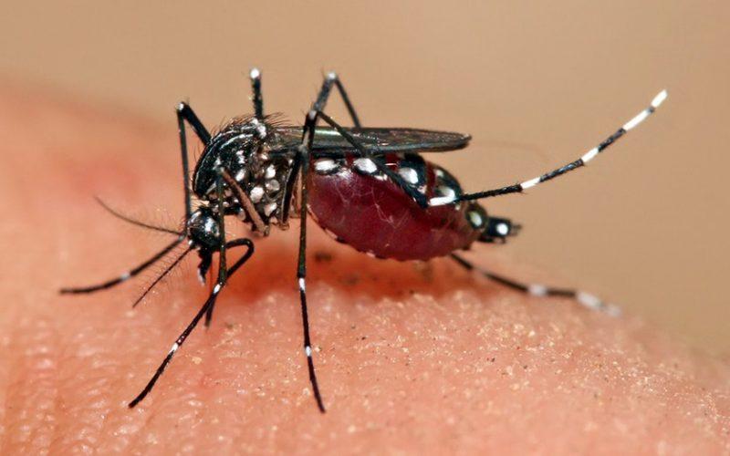 170410 Aedes Aegypti Full