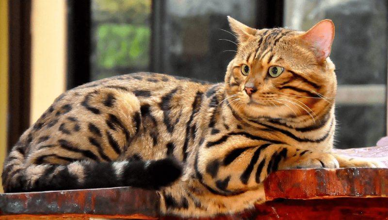 Gambar Kucing Bengal