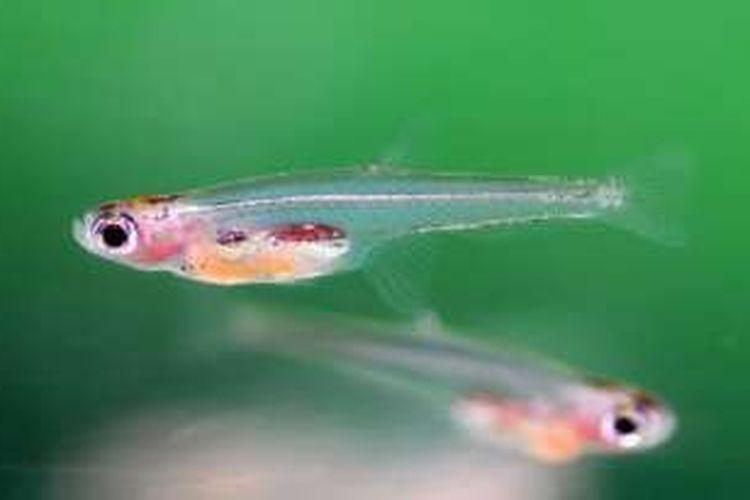 Paedocypris Progenetica Ikan