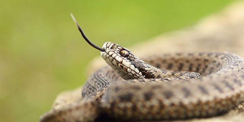 Tidak ada ular di Irlandia