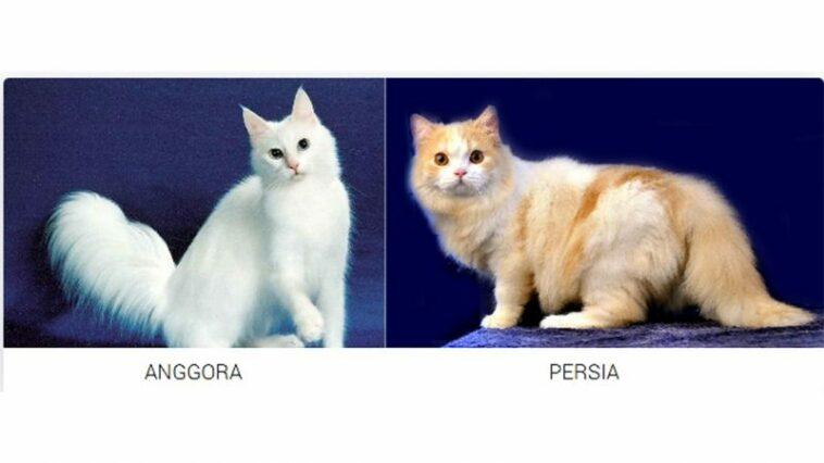 Perbedaan Kucing Anggora Dan Kucing Persia Bebaspedia Com