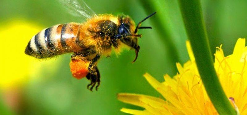 lebah madu  110727144653 633