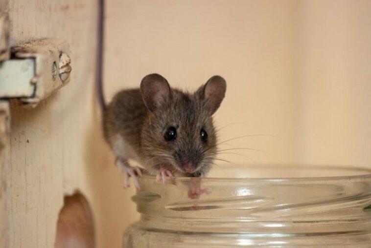 ternyata peppermint bisa mengganggu indera penciuman tikus yang amat tajam  190129112426 174