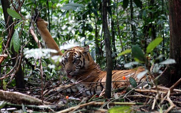 Semakin Berkurangnya Harimau Sumatera di Bengkulu Karena Perburuan Liar