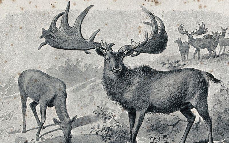 MI Megaloceros Giganteus Irish Elk Skeleton