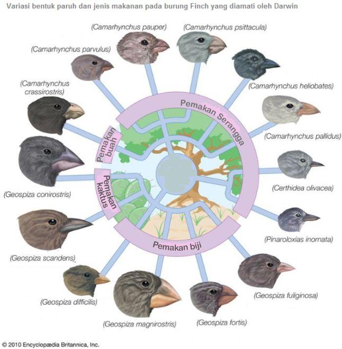 Variasi Burung Finch 1
