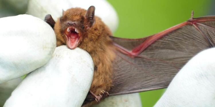 Kelelawar di Indonesia Terindikasi Virus Corona