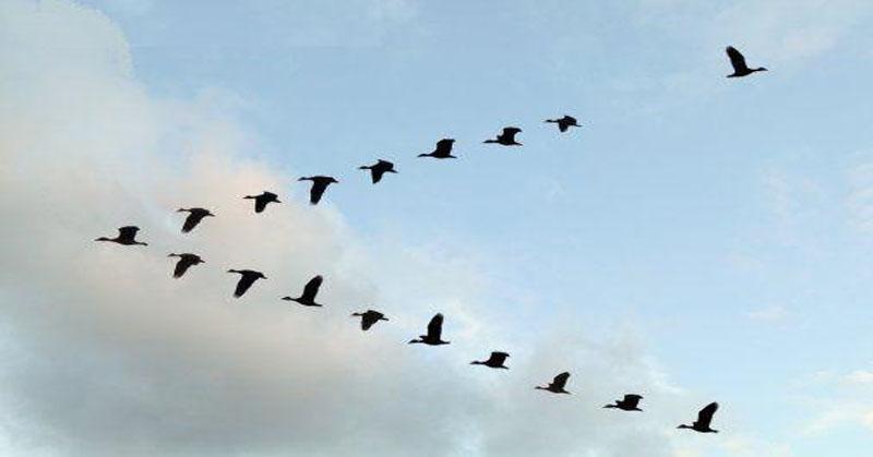 Burung Bentuk V