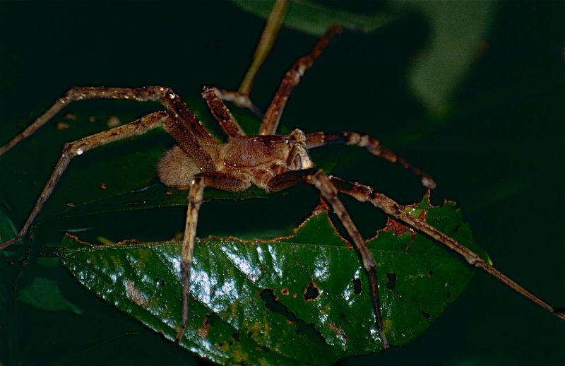 Wandering Spider Phoneutria Fera 10623228224