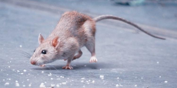 Tikus Penyakit