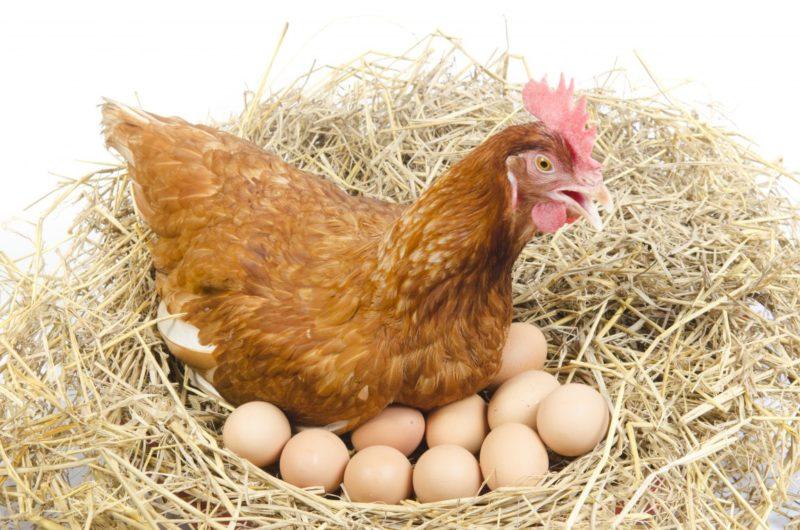 Ayam Betina Bertelur