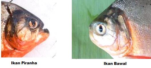 Perbedaan Bentuk Rahang Ikan Piranha Dan Bawal