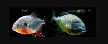 Piranha Dan Bawal