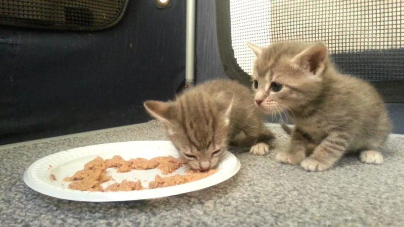 Berikan Makanan Khusus Anak Kucing