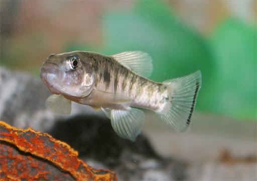 Cyprinodontidae ikan juga kentut