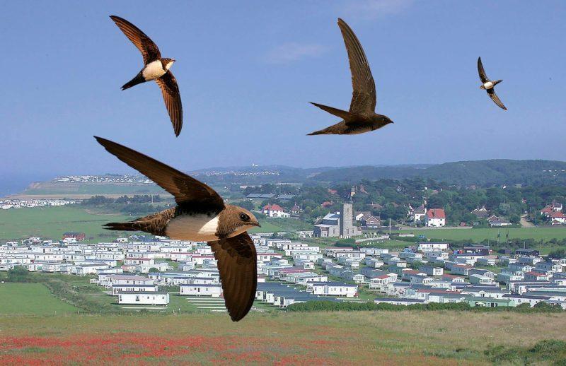 Ilustrasi Burung Alpine Swifts