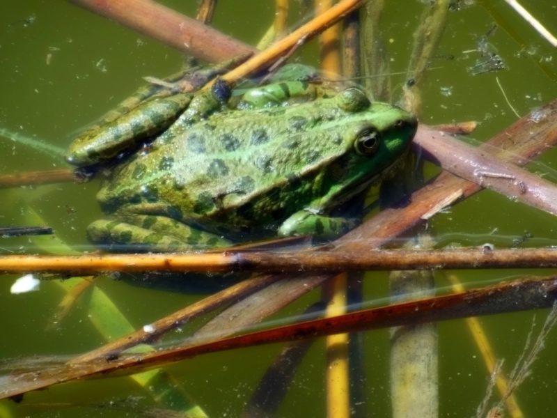 Ilustrasi Katak Bullfrog