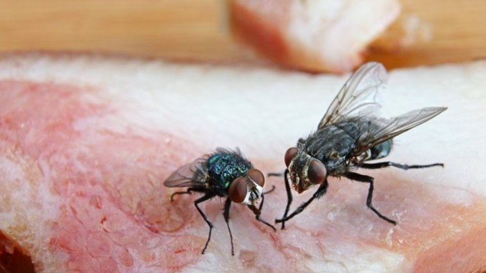 Lalat Menghinggap Di Makanan