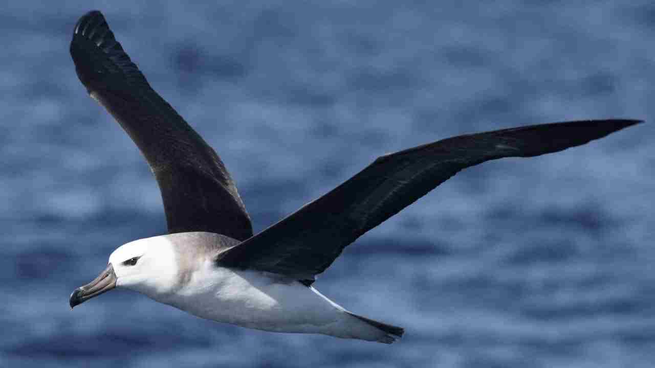 Mengenal Burung Albatross