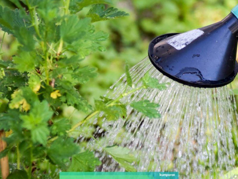 Menyiram Tamanan