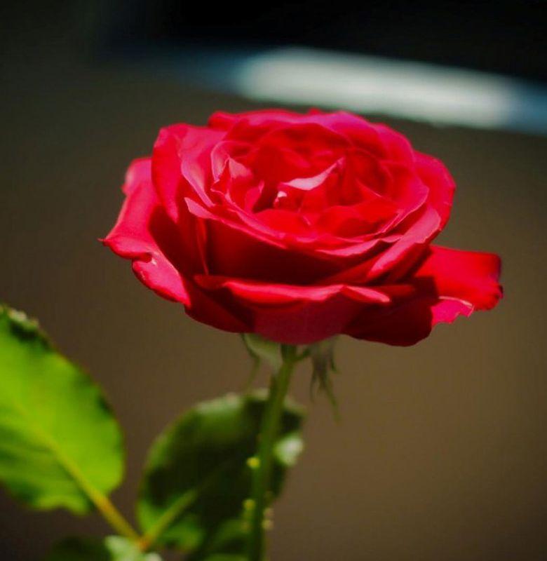 21429 Mawar Sang Ratu Bunga