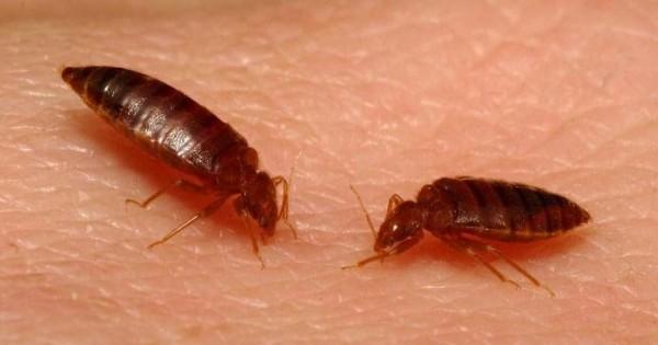 Bedbug Cimex 9 5c9aa543171a5aceb0407c402f651107 600xauto